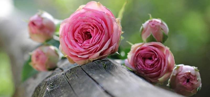tinh dầu hoa hồng lãng mạn