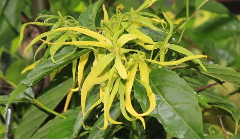 tinh dầu ngọc lan tây tạo hương thơm dễ chịu cho spa