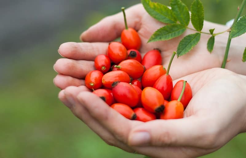 rosehip oil là gì